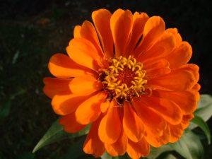 zinnia-flores