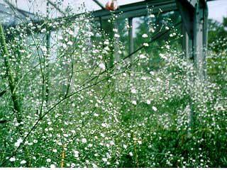 flores low cost paniculata innovias